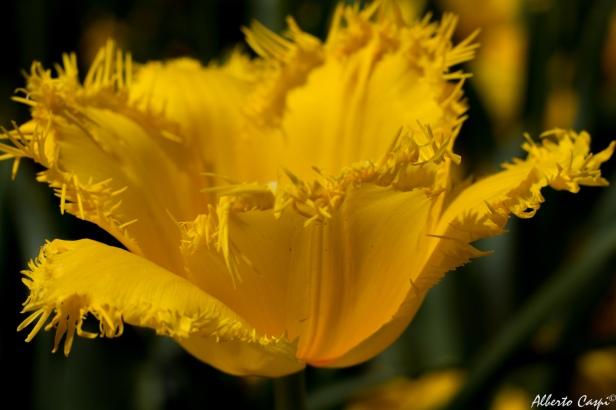 Yellow-florer---Floriade